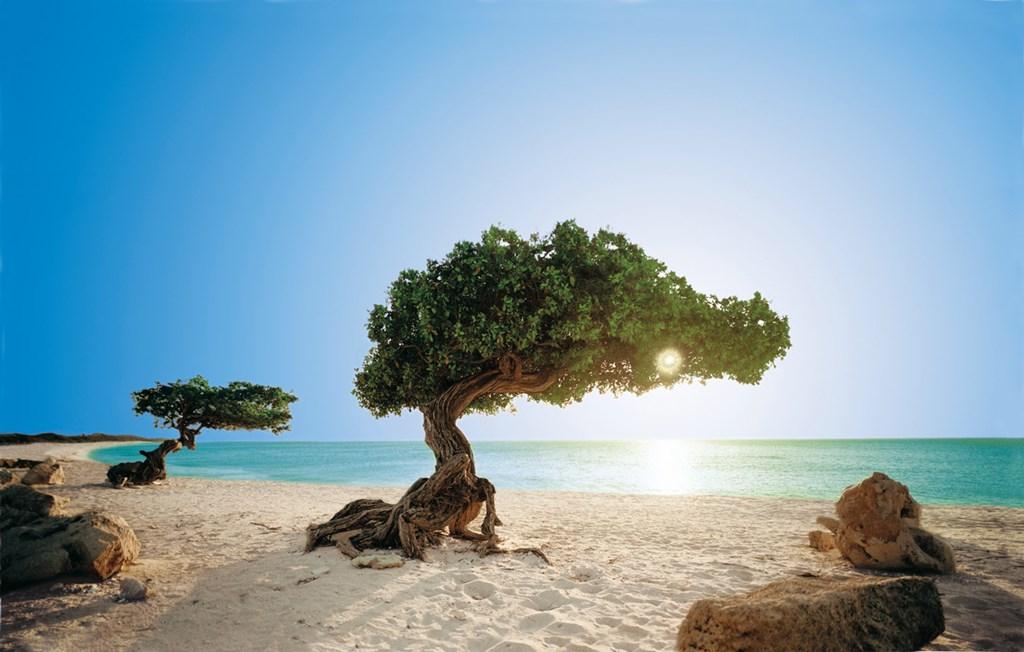 Image result for divi divi tree aruba