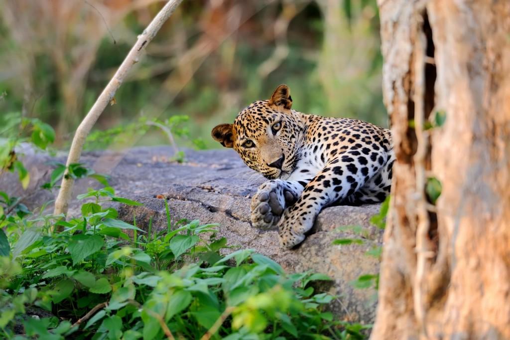Haz un safari en Sri Lanka