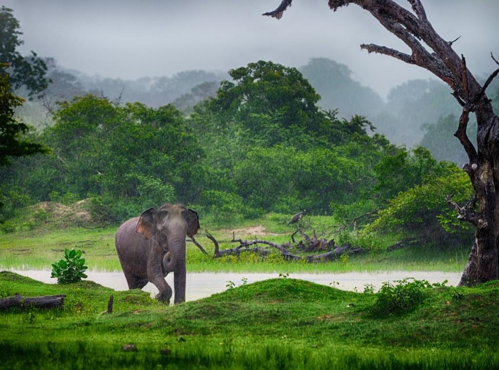 El elefante, uno de los símbolos de Sri Lanka