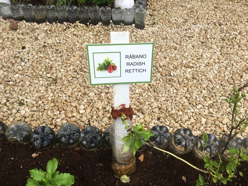 Raddish plant