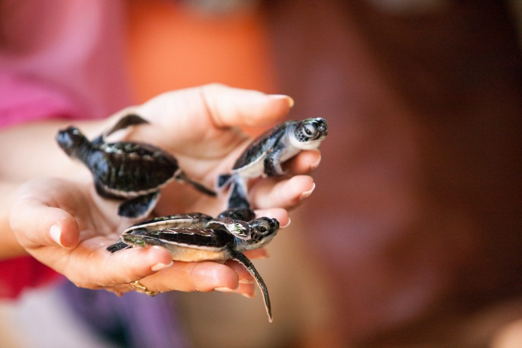 Turtles in Kosgoda