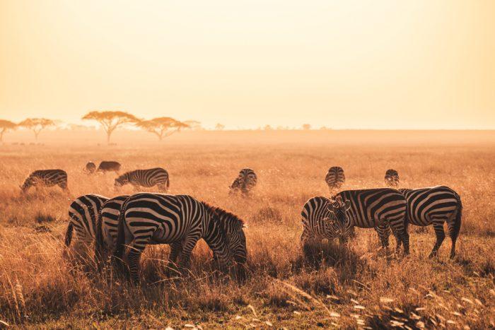 Una de las opciones durante tu viaje a Zanzíbar es hacer un safari